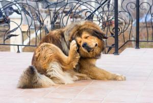 Tibetan Mastiff Dog Scratching Flea